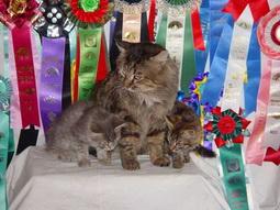 особенности подготовки длинношерстных кошек